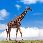 Фото Олег Касьянов и БДХ - Про жирафа